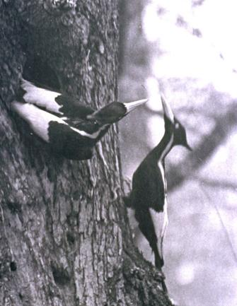 the ivory billed woodpecker